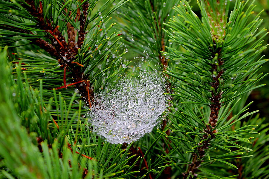 Pine Photograph - Wet Spider Web by Brian Lucia