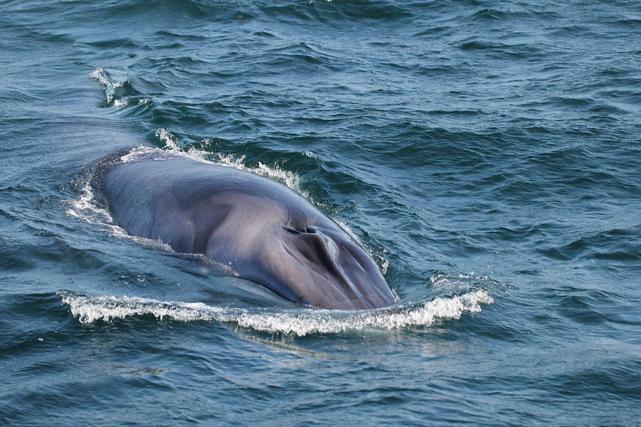 Whale in Portland's bay by Luisa Azzolini
