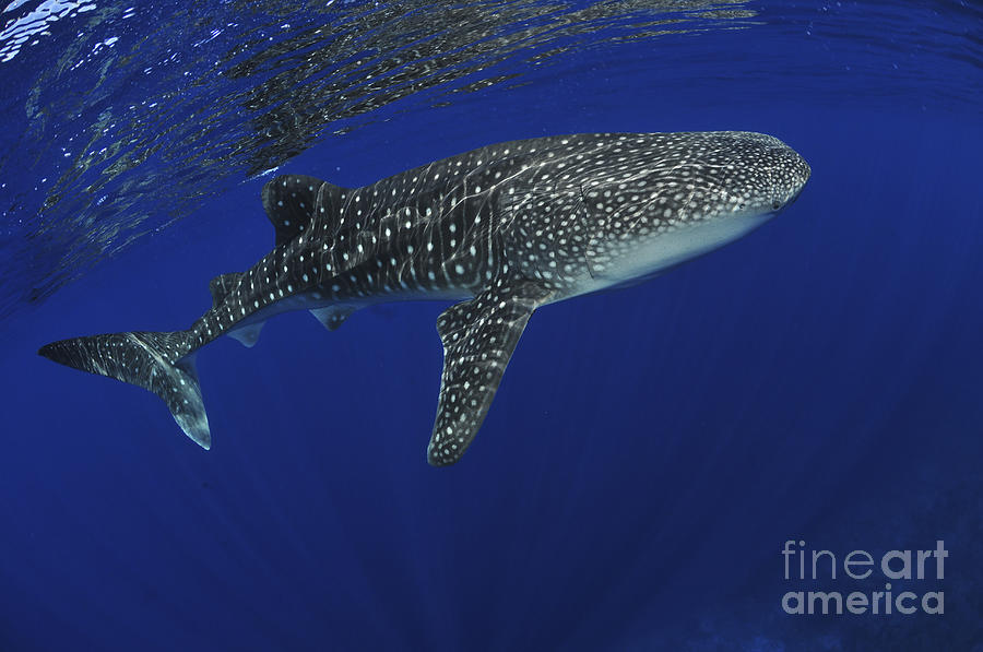 Australia Photograph - Whale Shark Near Surface With Sun Rays by Mathieu Meur