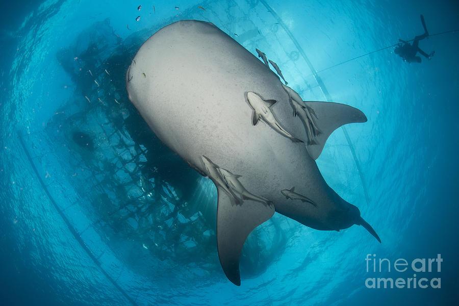Whale Shark Seen Photograph
