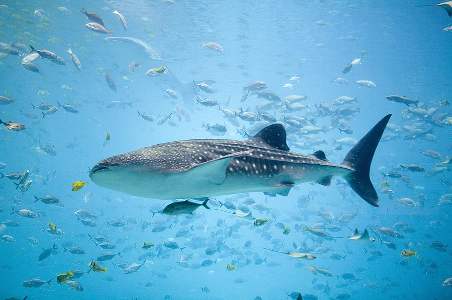 Horizontal Photograph - Whale Shark Swimming In Aquarium by Stephen Marks