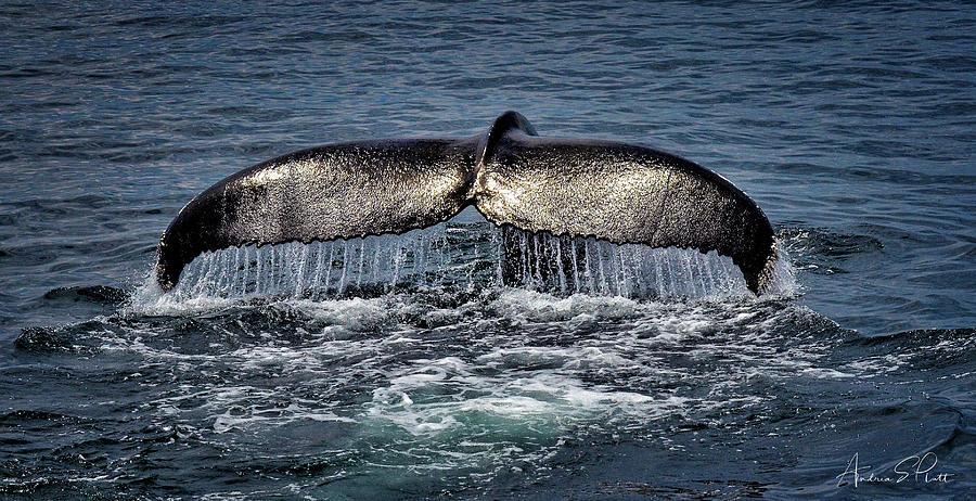 Whale Photograph - Whale Tail by Andrea Platt