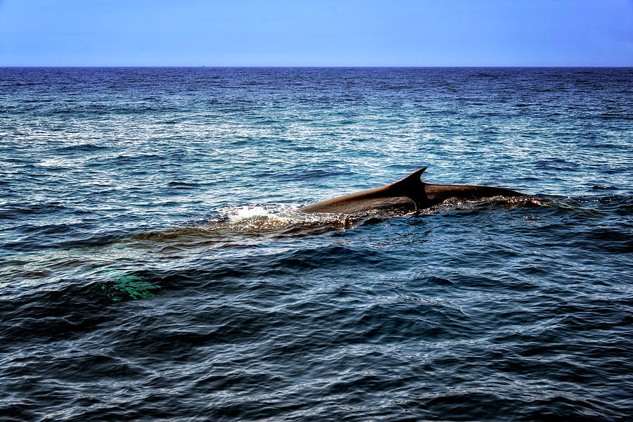 Mare Photograph - Whale Watching Balenottera Comune 4 by Enrico Pelos