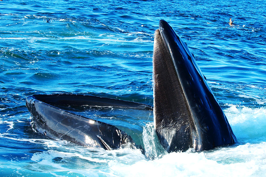 Couple Photograph - Whales Opening Mouth by Paul Ge