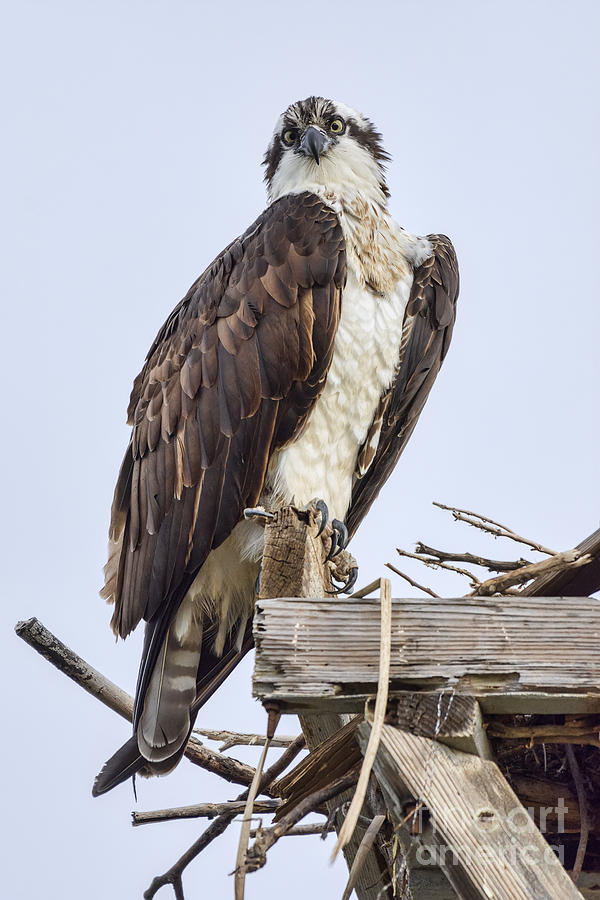Osprey Photograph - What Are You Looking At by Eddie Yerkish