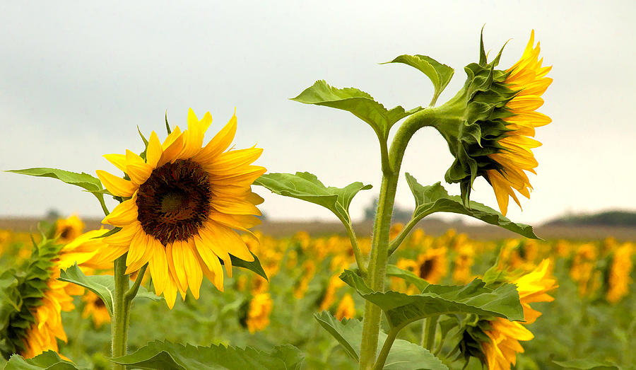 Sunflower Photograph - What Did I Say by Robert  McCord