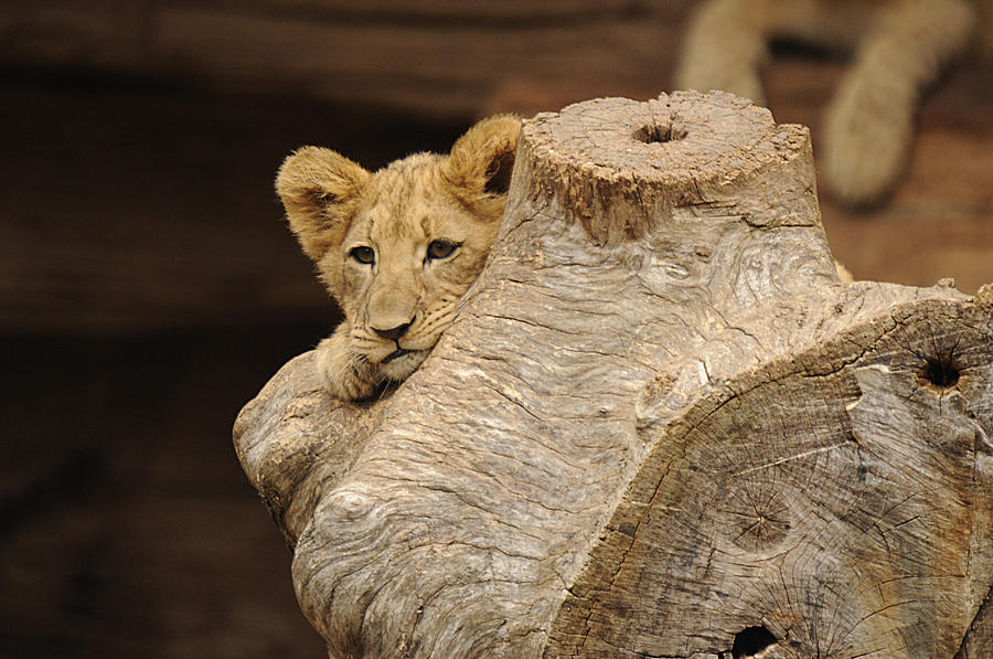 Lion Photograph - What To Do by Keith Lovejoy