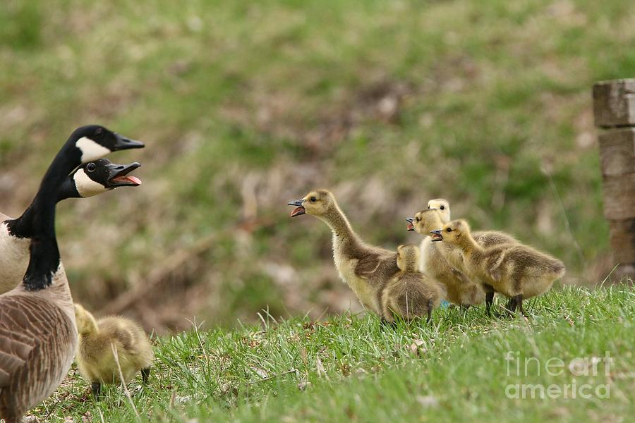 Canada Geese Photograph - What? What? by Tony Lee