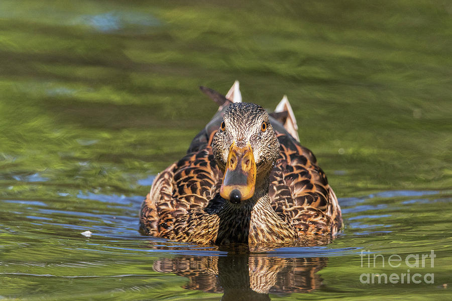Duck Photograph - Whatcha Doing by Nikki Vig