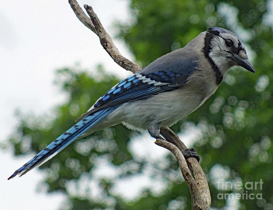 Whats For Lunch - Blue Jay Photograph