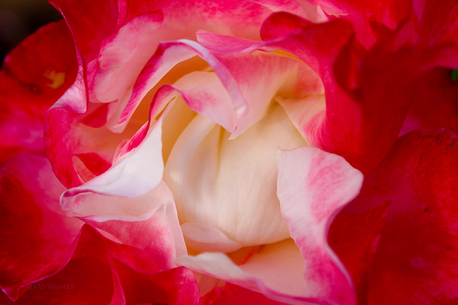 Rose Photograph - Whats In A Name by Susan Vineyard