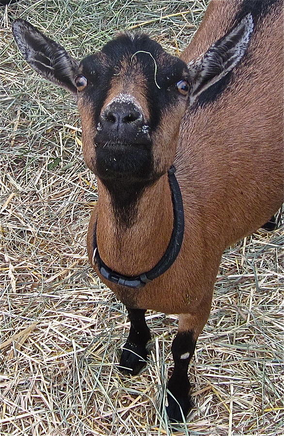 Goat Photograph - Whats Up Doc by Gwyn Newcombe
