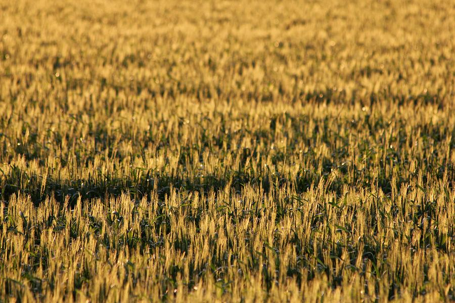 Agriculture Photograph - Wheat Beards by Peter Bouman