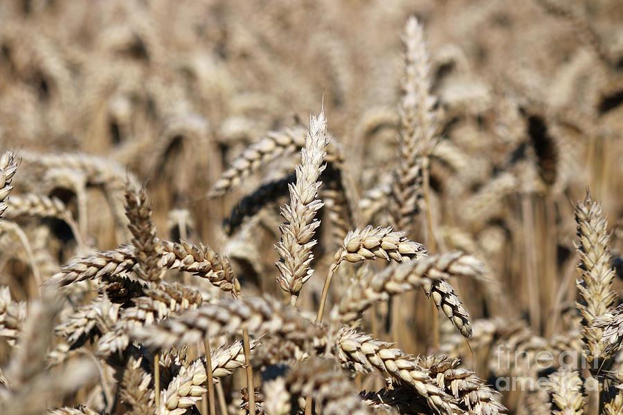 Wheat Photograph - Wheat Close Up Summer Season by Goce Risteski