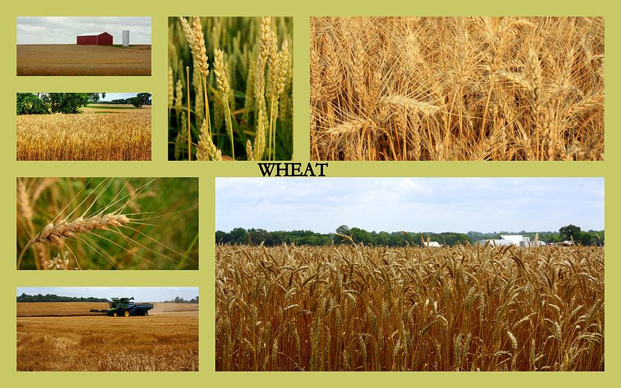 Wheat Collage by Angela Comperry