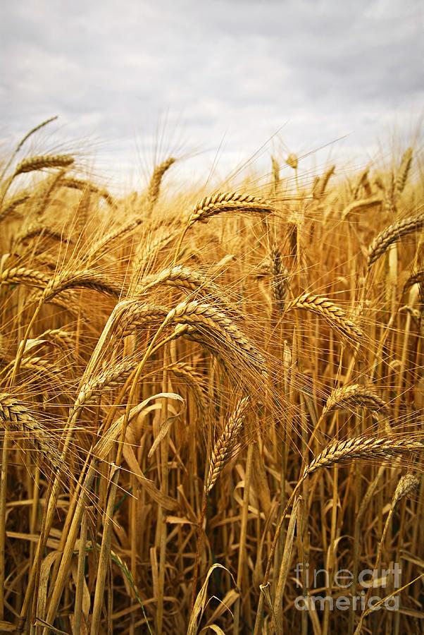 Wheat Photograph - Wheat by Elena Elisseeva