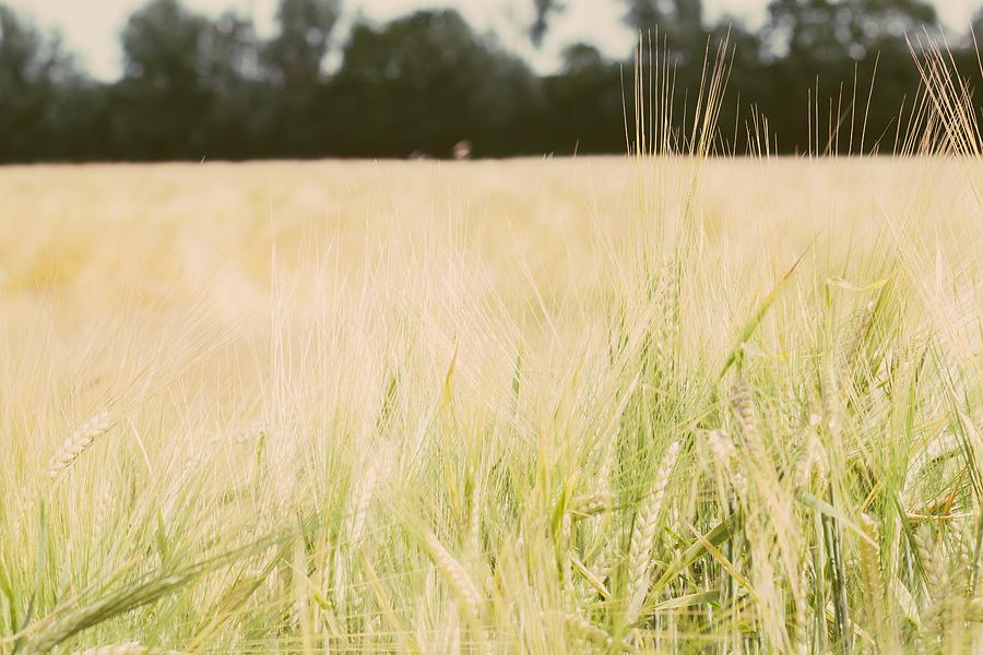 Wheat Photograph - Wheat Field Closeup by Pati Photography