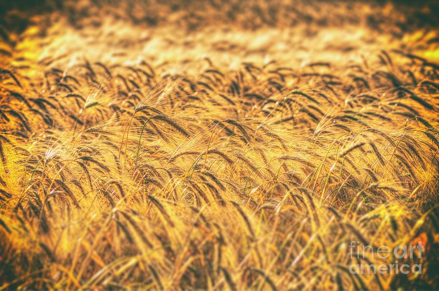 Wheat Digital Art - Wheat Field by Nigel Bangert