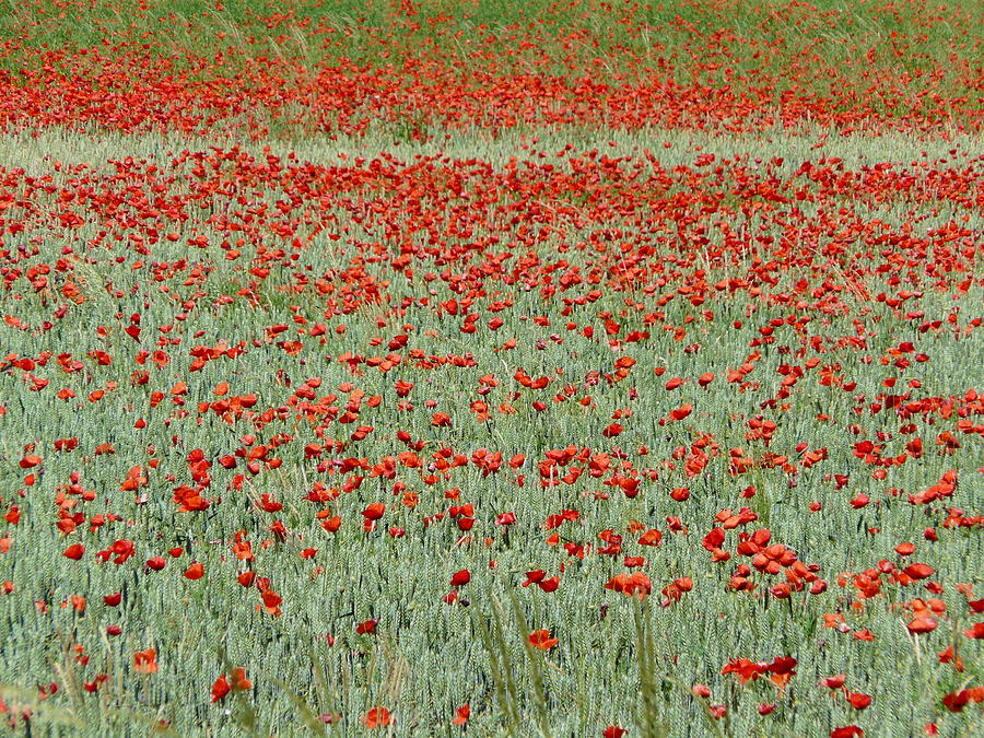 Wheat Field with Poppies by Valerie Ornstein