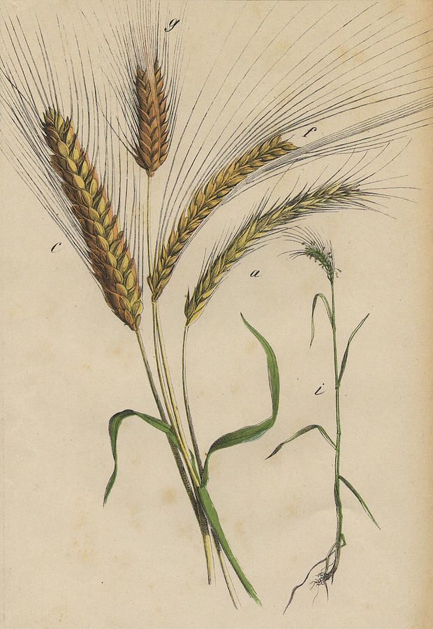 Wheat Drawing by German Botanical Artist