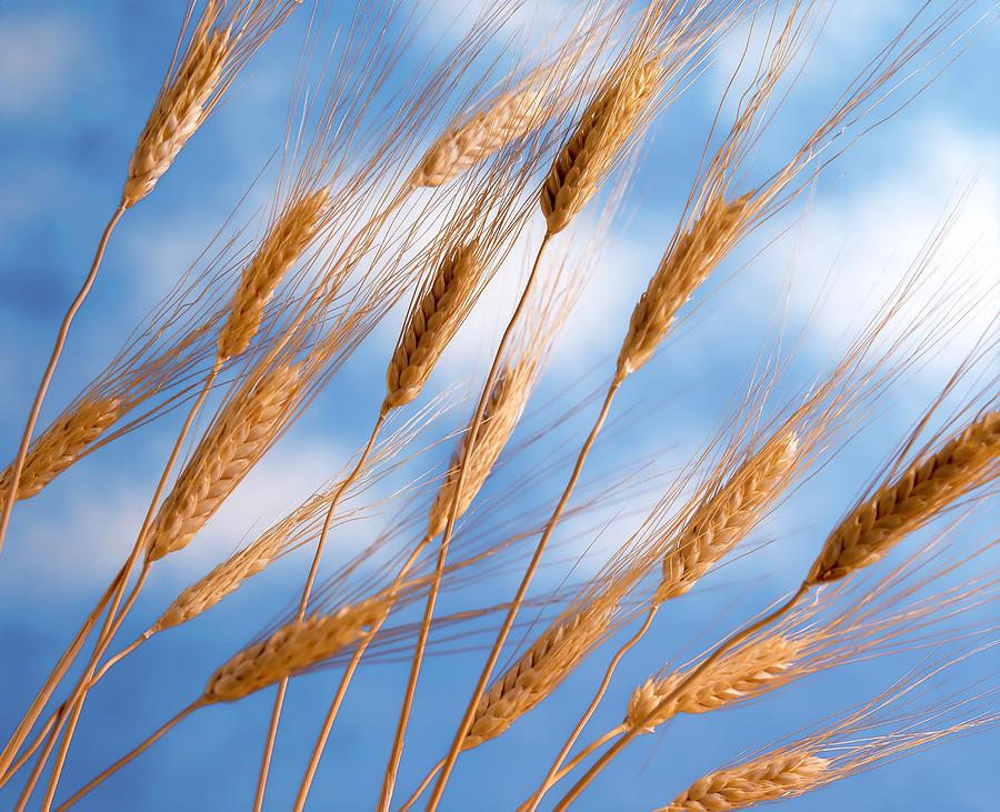 Wheat Stalks Photograph by Douglas Pulsipher