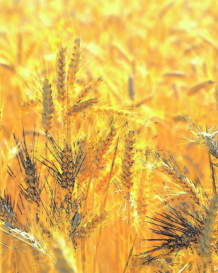 Wheatscape 6344 Photograph