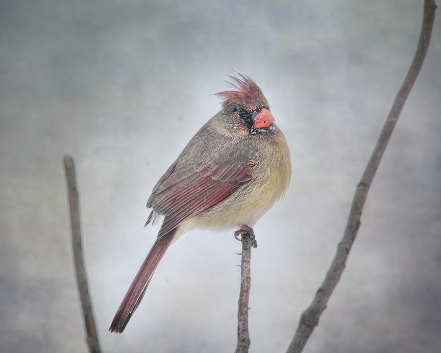 Cardinal Photograph - When The Northwind Blows  by Susan Capuano