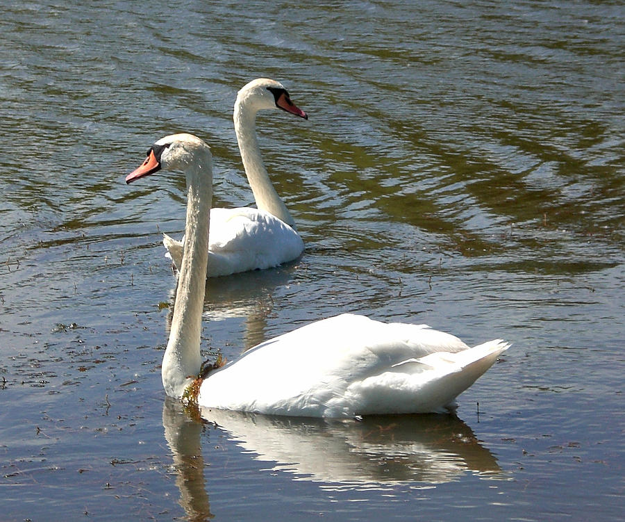 White Swans Photograph - Where Are You Going by Sholeh Mesbah