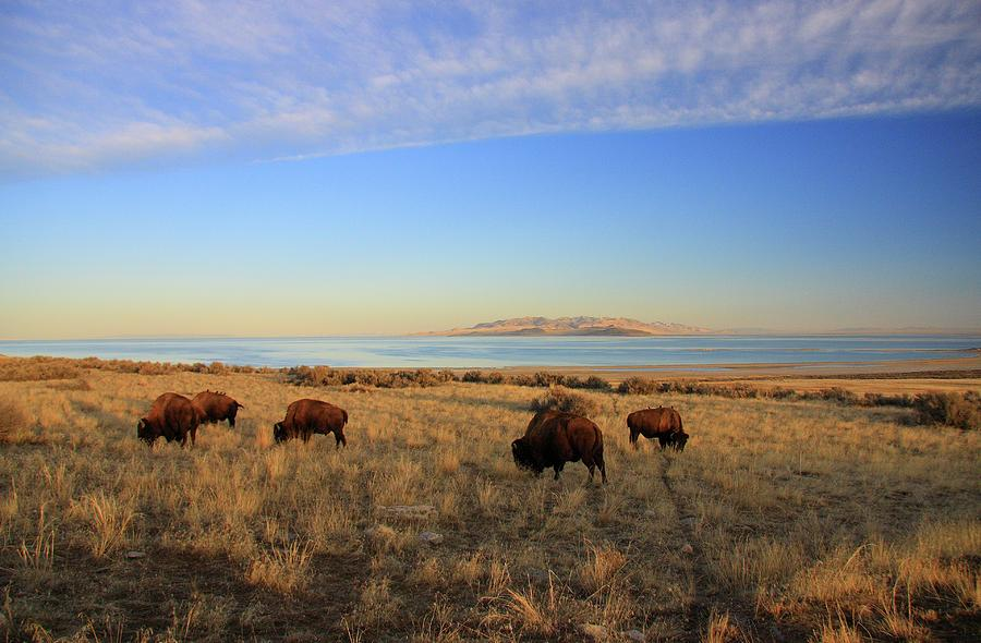 Buffalo Photograph - Where The Buffalo Roam by Gene Praag
