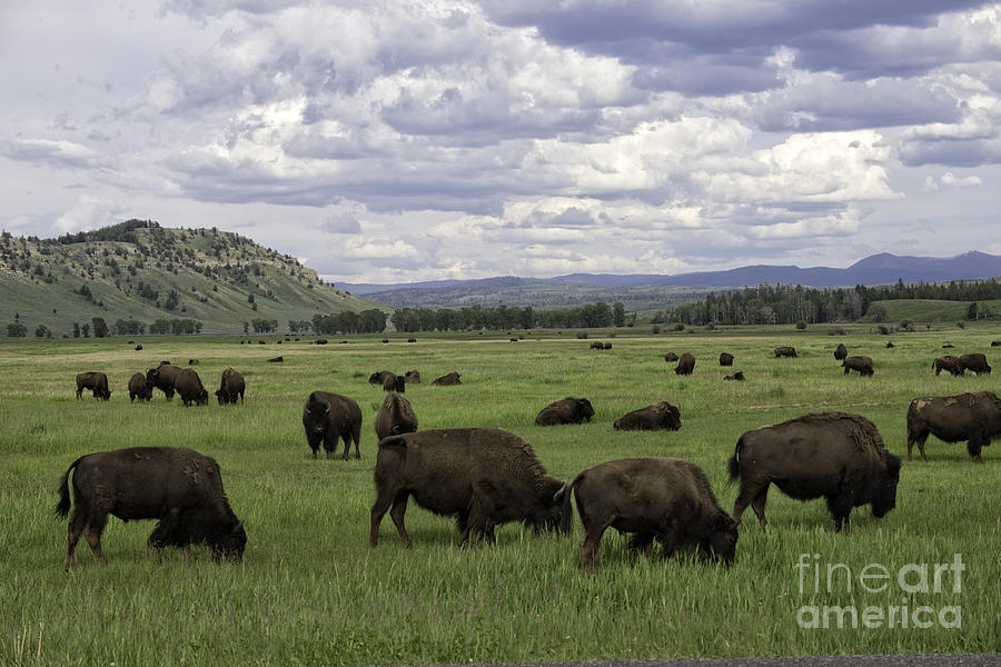 Bison Photograph - Where The Buffalo Roam by Tim Moore