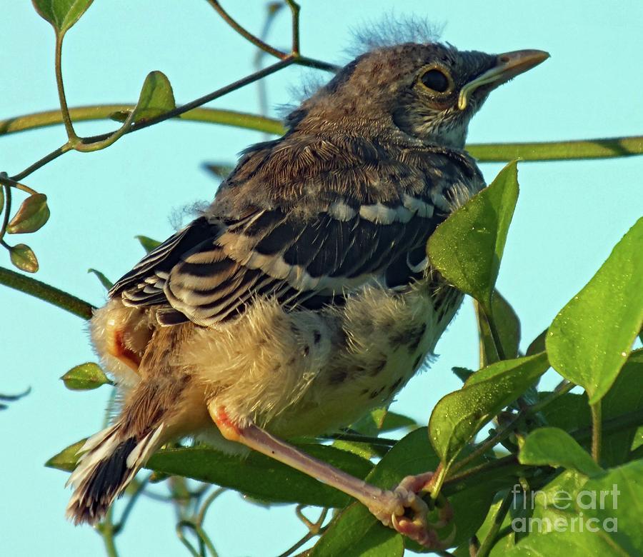 Wheres My Tail?  - Northern Mockingbird Photograph