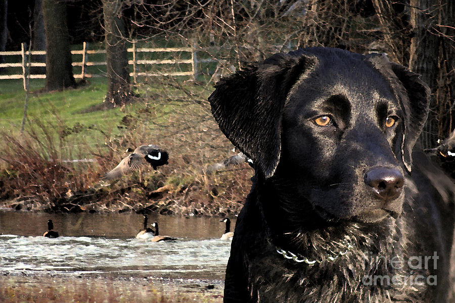 Black Photograph - Wheres The Geese Labrador 4 by Cathy  Beharriell
