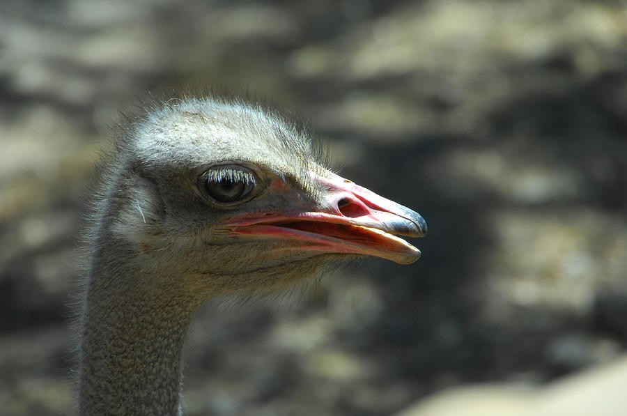 Ostrich Photograph - Wheres The Sand by Donna Blackhall