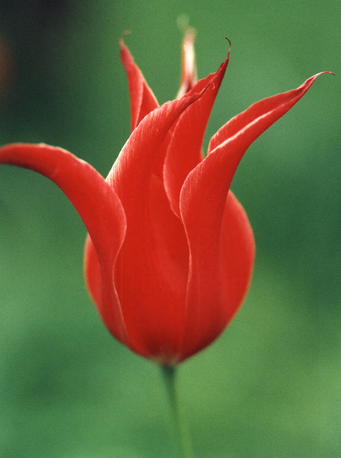 Red Tulip Photograph - Whimseys I by Phyllis Walker