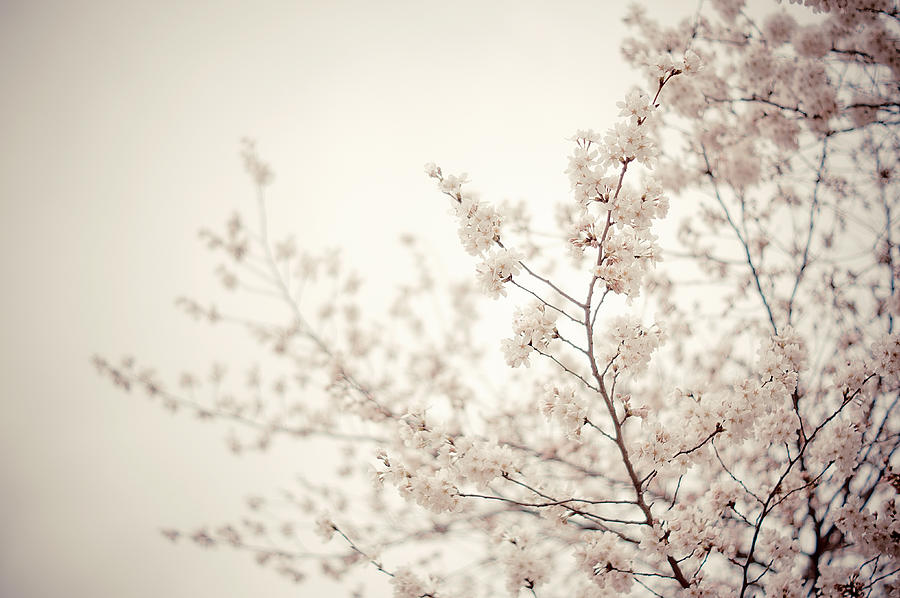 Spring Photograph - Whisper - Spring Blossoms - Central Park by Vivienne Gucwa