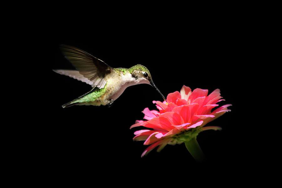Bird Photograph - Whispering Hummingbird by Christina Rollo