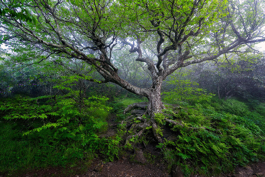Craggy Gardens Photograph - Blue Ridge Parkway / Craggy Gardens - Whispers Of The Trees by Jason Penland