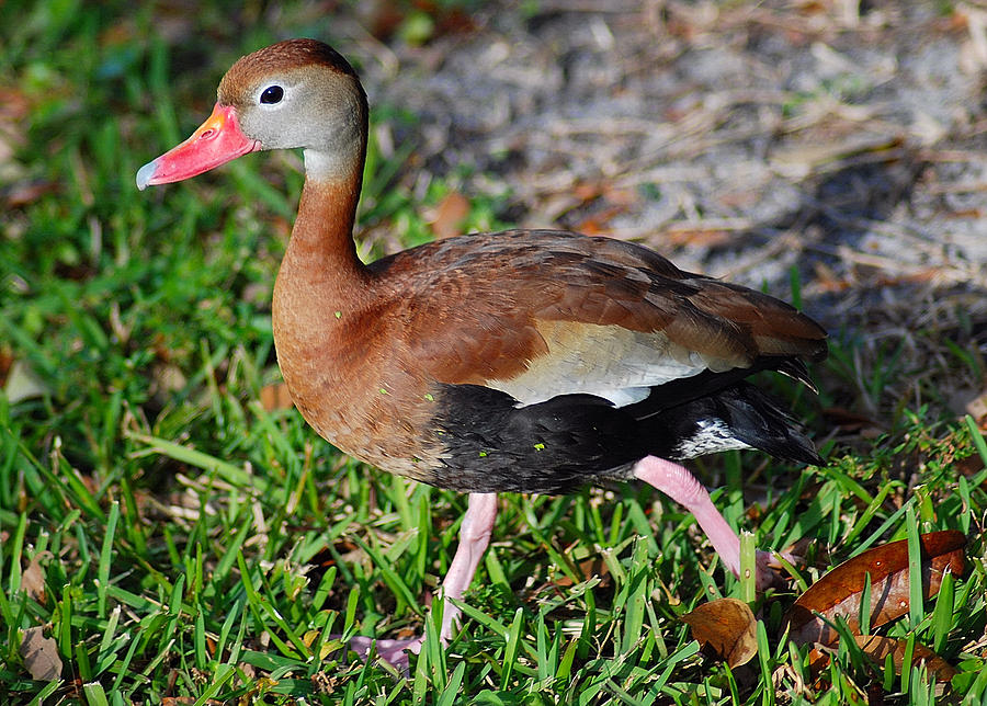 Duck Photograph - Whistling Duck by Christine Savino