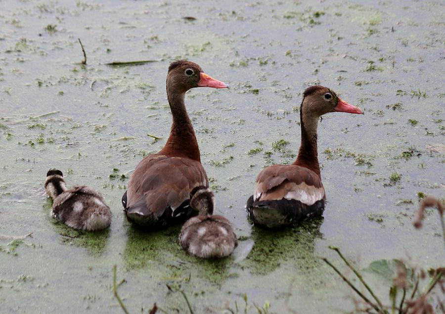 Whistling Ducks  by Christy Pooschke