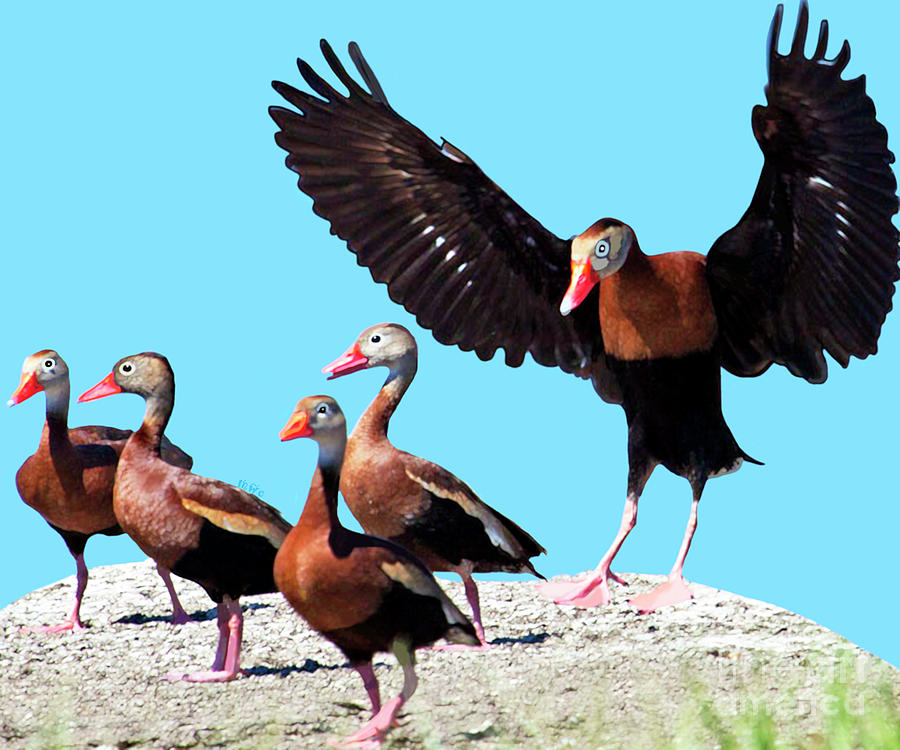Duck Painting - Whistling Ducks by Marian Cates