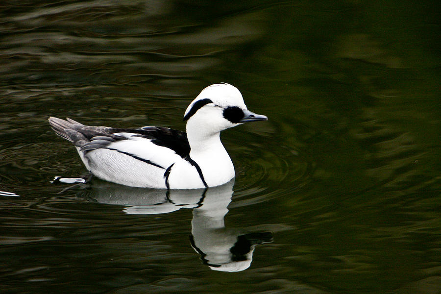 Duck Photograph - White And Black Duck by Douglas Barnett