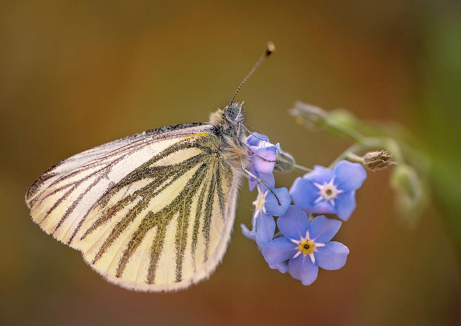 Butterfly Photograph - White And Creamy Butterfly On Forget Me Not Flower by Jaroslaw Blaminsky