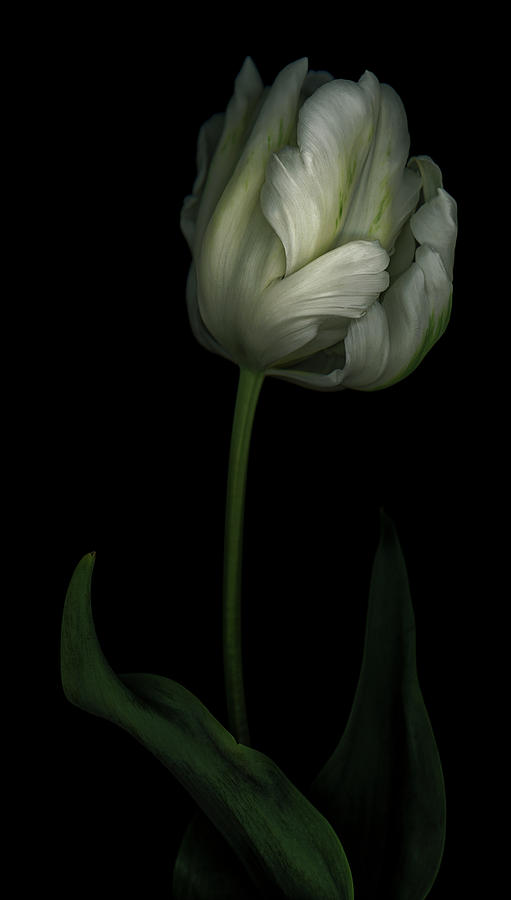 White and Green Tulip by Oscar Gutierrez