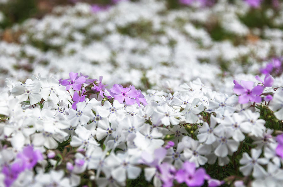 Australia Photograph - White And Pink Flowers At Botanic Garden In Blue Mountains by Daniela Constantinescu