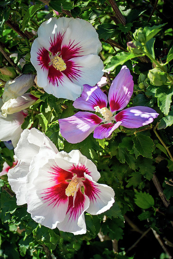 White And Purple Hibiscus Flowers Photograph By John Bartelt