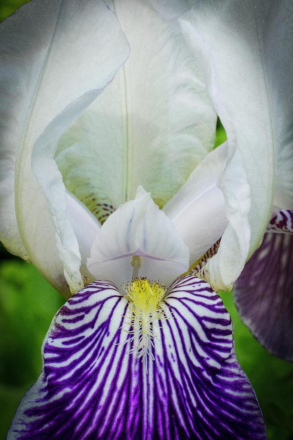 White and Purple Iris by Chita Hunter