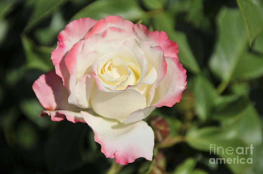 White Photograph - White And Red Rose 3 by Rudolf Strutz