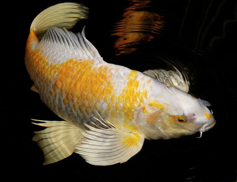 White And Yellow Yamabuki Hariwake Butterfly Koi Fish Swimming A Photograph By Reimar Gaertner
