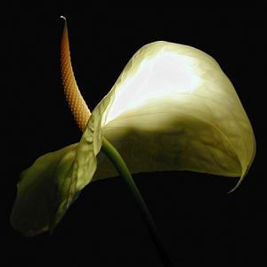 White Photograph - White Antherium by Richard Nodine