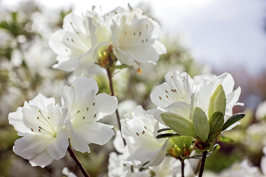 White Azalea by Angel Sharum